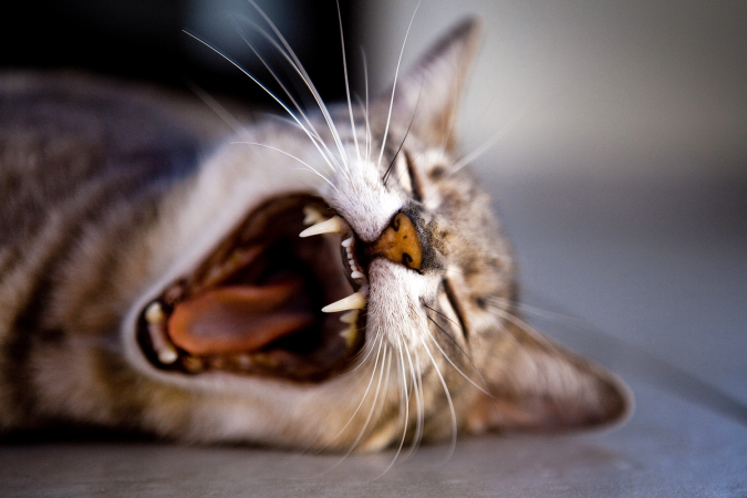 Couldn't find a decent picture of a vampire, so here's one of a yawning cat that looks like a vampire instead
